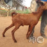 Goat Sharing   Livestock & Poultry for sale in Lagos State, Ojota