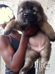 Quality Mountain Caucasian Shepherd Ovcharka | Dogs & Puppies for sale in Lagos State, Ikeja