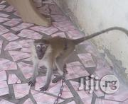 Vervet Monkey | Other Animals for sale in Lagos State, Ojo