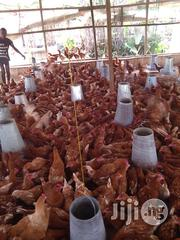 Day Old Chicks | Livestock & Poultry for sale in Lagos State, Agege