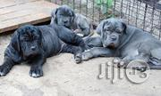 Quality Massive Neopolitan Mastiff Puppies Full Breed   Dogs & Puppies for sale in Lagos State, Ikeja
