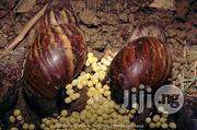 AM Point Of Lay Snails | Livestock & Poultry for sale in Rivers State, Obio-Akpor