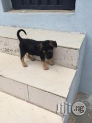 Baby Male Purebred German Shepherd Dog | Dogs & Puppies for sale in Lagos State, Ikorodu