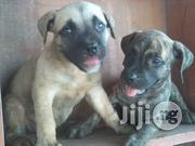 Boerboel Puppies | Dogs & Puppies for sale in Lagos State, Ikotun/Igando