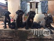 Cane Corso Puppies | Dogs & Puppies for sale in Lagos State, Lekki Phase 1