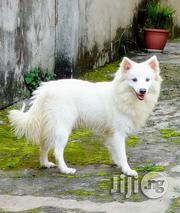 Adult Male Eskimos   Dogs & Puppies for sale in Lagos State, Lagos Mainland