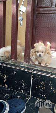 Lahsa Apso | Dogs & Puppies for sale in Ogun State, Ado-Odo/Ota