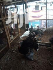 Very Healthy And Matured Turkey For Sell | Livestock & Poultry for sale in Rivers State, Obio-Akpor