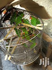 Love Bird (Male & Female) For Sale | Birds for sale in Lagos State, Lagos Mainland