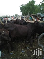 Big Brown Cows | Livestock & Poultry for sale in Sokoto State, Sokoto North