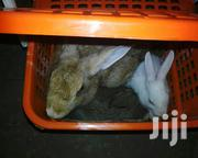 GOE Animals-adult Female And Male Rabbits For Sale   Livestock & Poultry for sale in Ondo State, Akure