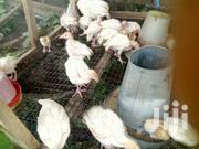 5weeks Imported Exotic Breed Turkey Complete Vazzination For Sale | Livestock & Poultry for sale in Oyo State, Lagelu