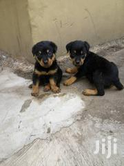 Solid Rottweiler Pups4sale   Dogs & Puppies for sale in Oyo State, Oluyole