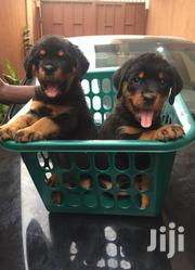 Pedigree Boxhead Rottweiler Pure Breed Puppies | Dogs & Puppies for sale in Lagos State, Ikeja