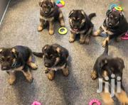 Pedigree German Shepherd | Dogs & Puppies for sale in Lagos State, Ikeja