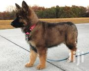 Quality German Shepherd Puppy | Dogs & Puppies for sale in Lagos State, Ikeja