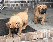 Quality Full Breed Pedigree Boerboel (South African Mastiff) | Dogs & Puppies for sale in Lagos State, Ikeja