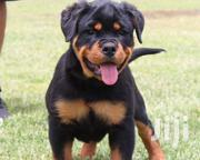 Quality Pedigree Box Headed Rottweiler Puppies | Dogs & Puppies for sale in Lagos State, Ikeja