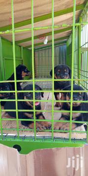 Super Quality Rottweiler Pups | Dogs & Puppies for sale in Abuja (FCT) State, Maitama