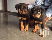 Pedigree Rottweiler Pups | Dogs & Puppies for sale in Lagos State, Ojodu