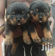 Rott Weiler | Dogs & Puppies for sale in Lagos State, Surulere