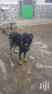 Adult Male Caucasian | Dogs & Puppies for sale in Lagos State, Ojodu