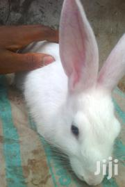English White Rabbit | Livestock & Poultry for sale in Enugu State, Nsukka