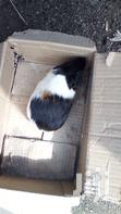 Mature Guinea Pigs | Livestock & Poultry for sale in Ajah, Lagos State, Nigeria