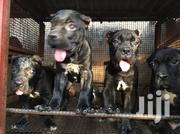 Female and Male Cane Corso Up for New Homes at Affordable Price | Dogs & Puppies for sale in Lagos State, Lagos Island