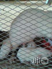 Albino Rat For Sale | Other Animals for sale in Enugu State, Nsukka