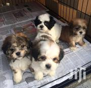 Both Lhasa Apso For Sale | Dogs & Puppies for sale in Ogun State, Ado-Odo/Ota