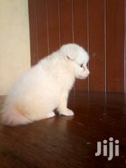 Samoyed Puppies Available For Sale | Dogs & Puppies for sale in Lagos State, Oshodi-Isolo