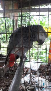 Talking Parrotts | Birds for sale in Imo State, Owerri