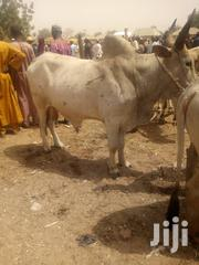 Very Big Healthy Cows | Livestock & Poultry for sale in Ogun State, Sagamu
