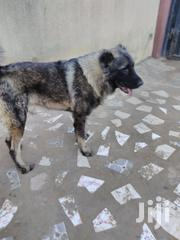 Adult Male Purebred Caucasian Shepherd Dog | Dogs & Puppies for sale in Lagos State, Ikorodu