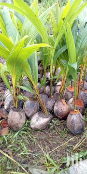 Hybrid Coconut Seedlings | Feeds, Supplements & Seeds for sale in Lagos State, Badagry