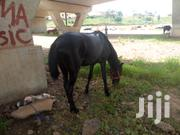 Male And Female Horse For Sale | Other Animals for sale in Lagos State, Lekki Phase 1
