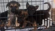 German Shepard Dogs Available For Sale | Dogs & Puppies for sale in Lagos State, Lagos Mainland