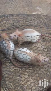 Lab Rat For Sale | Other Animals for sale in Lagos State, Ikorodu