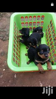Rotweiler Puppies | Dogs & Puppies for sale in Oyo State, Ibadan North East