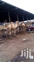Cow, Camel, Ram And Goat For Sale. | Livestock & Poultry for sale in Ikeja, Lagos State, Nigeria