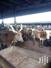Cow, Camel, Ram And Goat For Sale. | Livestock & Poultry for sale in Lagos State, Ikeja