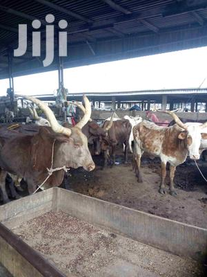 Cow, Camel, Ram And Goat For Sale.