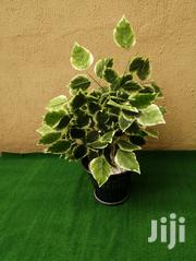 Potted Trees   Landscaping & Gardening Services for sale in Rivers State, Akuku Toru