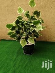 Large Potted Trees   Landscaping & Gardening Services for sale in Rivers State, Andoni