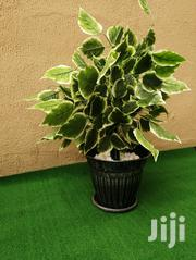 Cheap Plant In Pot | Garden for sale in Rivers State, Okrika