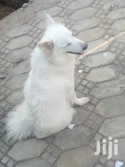 Adult Female Purebred American Eskimo Dog   Dogs & Puppies for sale in Lagos State, Alimosho