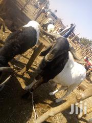 Ram And Cow | Other Animals for sale in Lagos State, Victoria Island