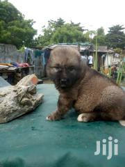 Big Bones Caucasian Shepard Dog Puppies | Dogs & Puppies for sale in Lagos State, Magodo