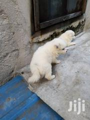 American Eskimo Puppies For Sale | Dogs & Puppies for sale in Lagos State, Kosofe